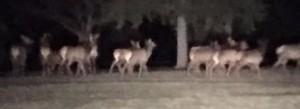 elk at night